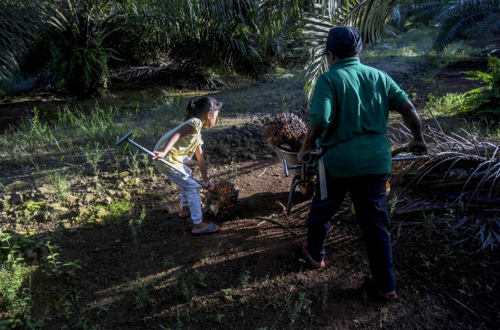 A child helps her parents work on a palm oil plantation in Sabah, Malaysia, Monday, Dec. 10, 2018. Many children gather loose kernels and clear brush ...