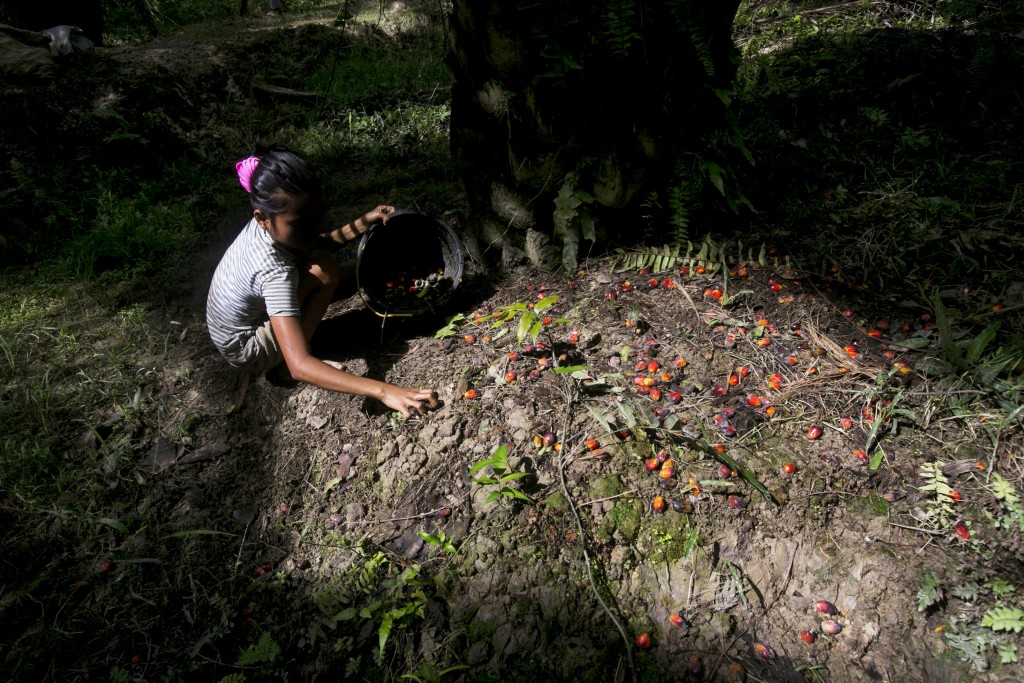 A child collects palm kernels from the ground at a palm oil plantation in Sumatra, Indonesia, Monday, Nov. 13, 2017. (AP Photo/Binsar Bakkara)