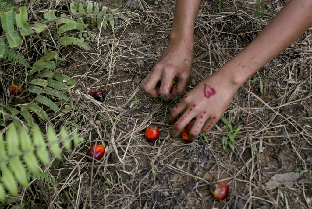 A child collects palm kernels from the ground at a palm oil plantation in Sumatra, Indonesia, Monday, Nov. 13, 2017. Indonesia is the world's largest ...