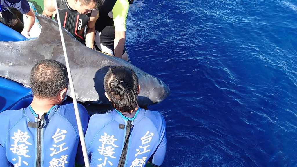 A pygmy killer whale returns to sea in late June after a two-month treatment by expert team.