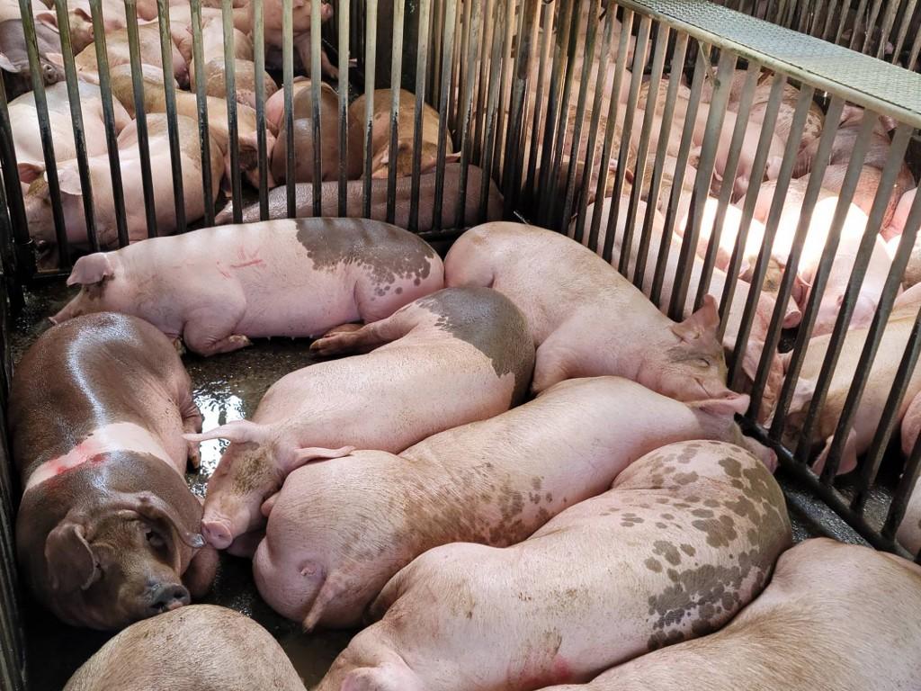 農委會今對外澄清,說明含極微量萊劑的豬肉及內臟,和其他殘羹混合稀釋,豬吃下肚後會代謝降解,並無殘留問題。(圖/中央社)