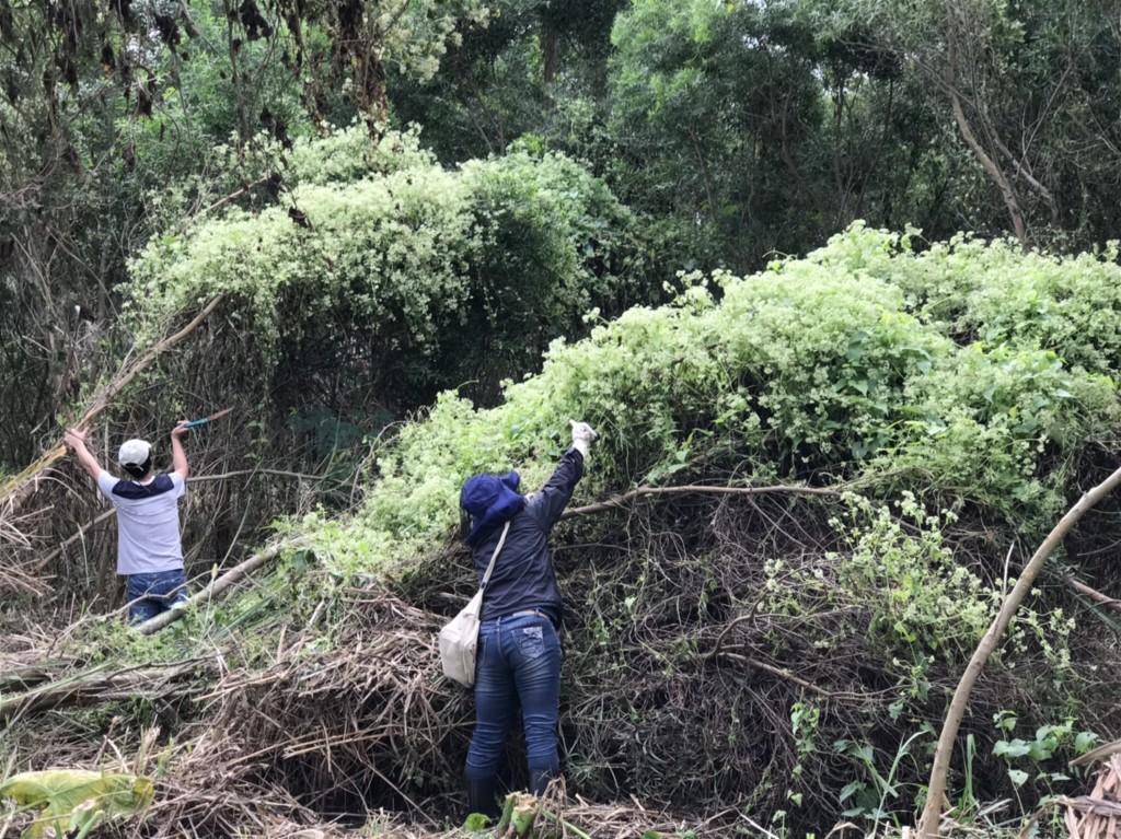 【美麗的植物殺手】今為「小花蔓澤蘭」全國防治日 林務局與民眾協力剷除3868公斤「綠癌」