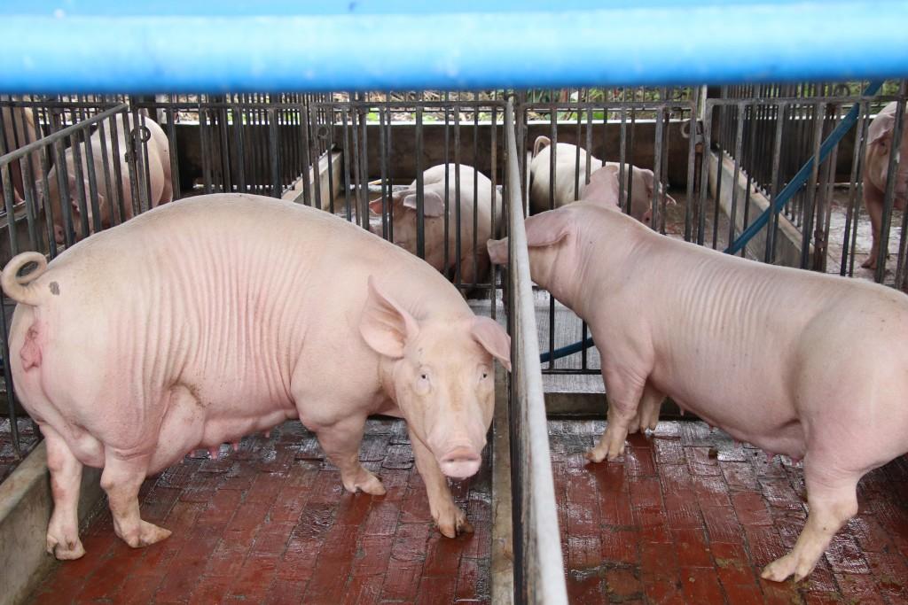 Pig farm in Taiwan.
