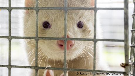Danish lawmakers ban mink farming until 2022 amid coronavirus outbreak