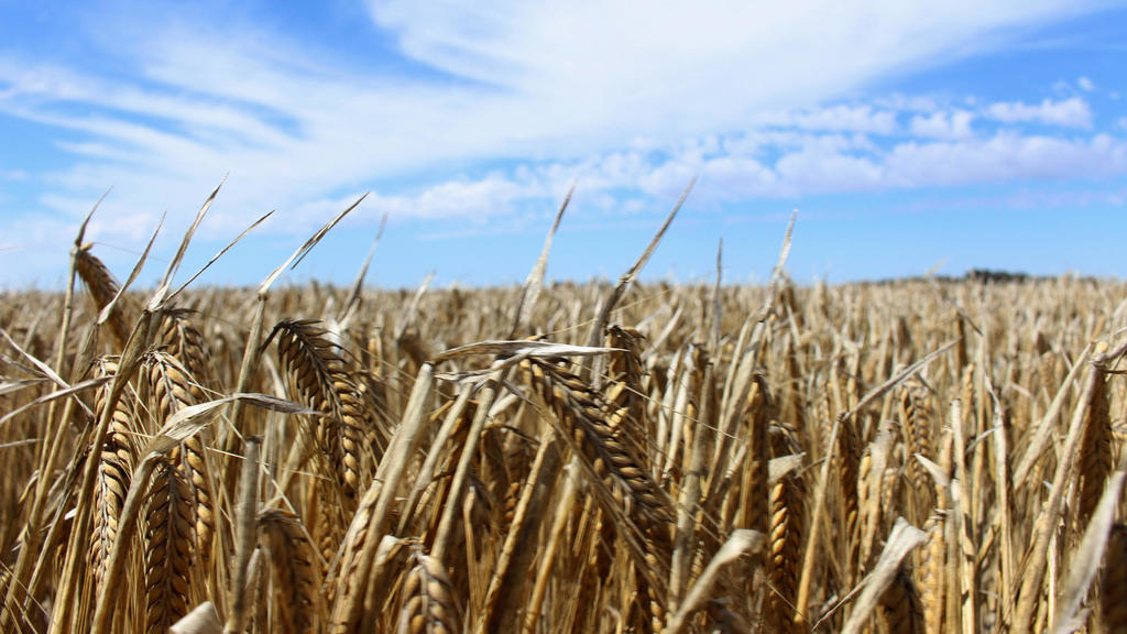 A barley field at a farm near Moree, an inland town in New South Wales, Australia, on October 27, 2020.