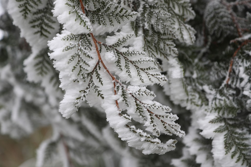 台灣入冬後首波寒流報到,宜蘭縣太平山國家森林遊樂 區雖未降雪,但31日沿線道路樹梢結滿霧淞,形成銀白 色美景。
