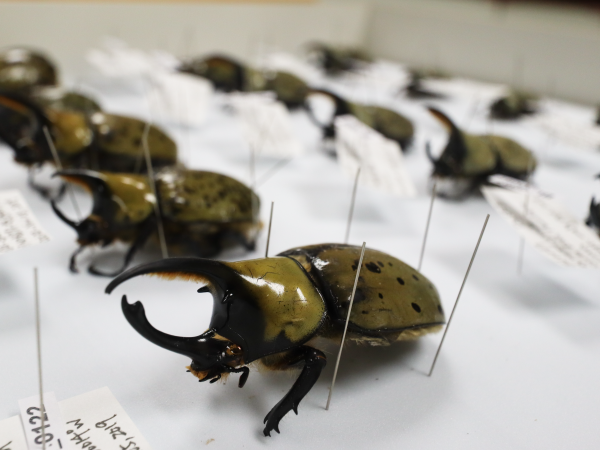 Diversity of Hercules beetles is perfect indicator of speciation.