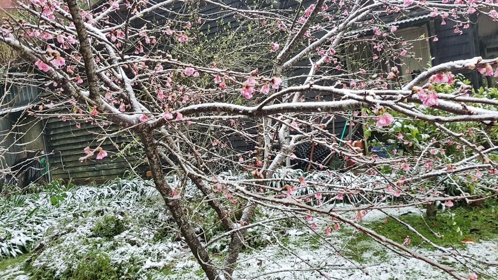 新北市烏來信賢部落今天一度飄雪,白雪點綴櫻花上,相當美麗。(圖/中央社)