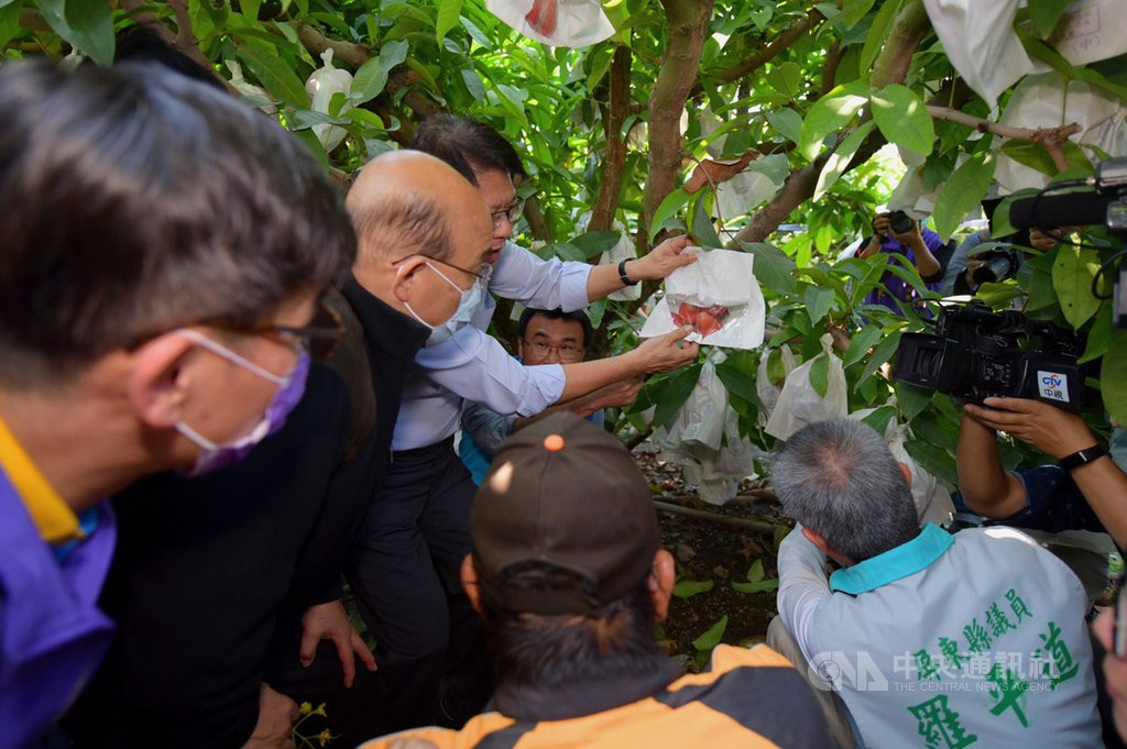 Premier Su Tseng-chang (second from left) inspects damaged wax apples in Pingtung (CNA, Executive Yuan photo)