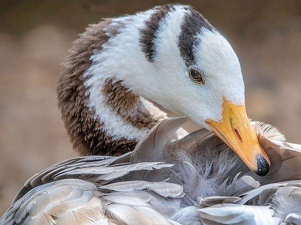 Bar-headed geese known for their ability to reach extreme altitudes. (Pixabay photo)