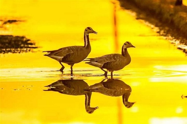 Bar-headed geese make debut appearance in Taiwan
