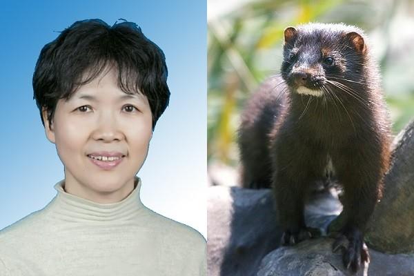 Shi Zhengli, Neovison mink. (WIV, Wikimedia Commons photos)