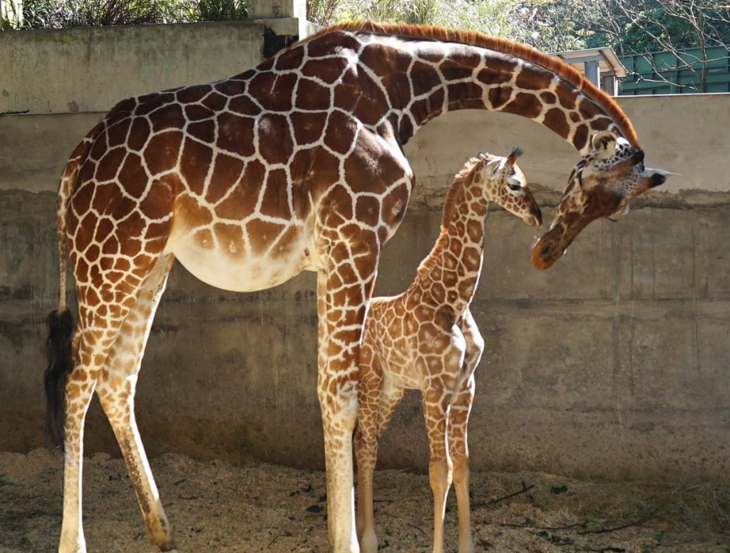 台北市立動物園新生長頸鹿寶寶取名「麥芽」(圖/台北市立動物園)