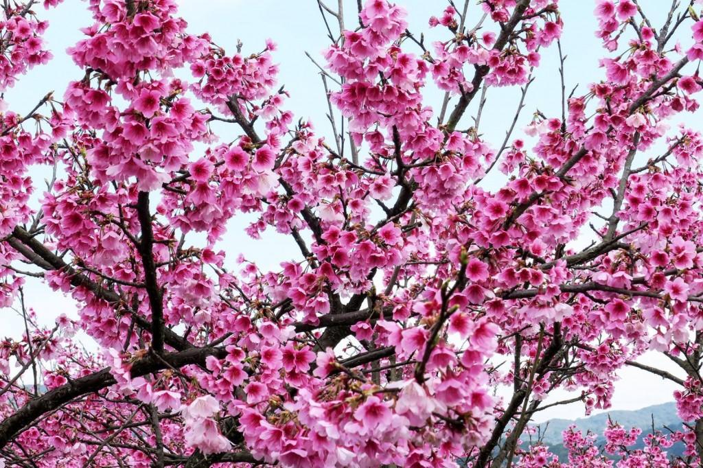 平菁街42巷櫻花盛開。(北市產業局提供)