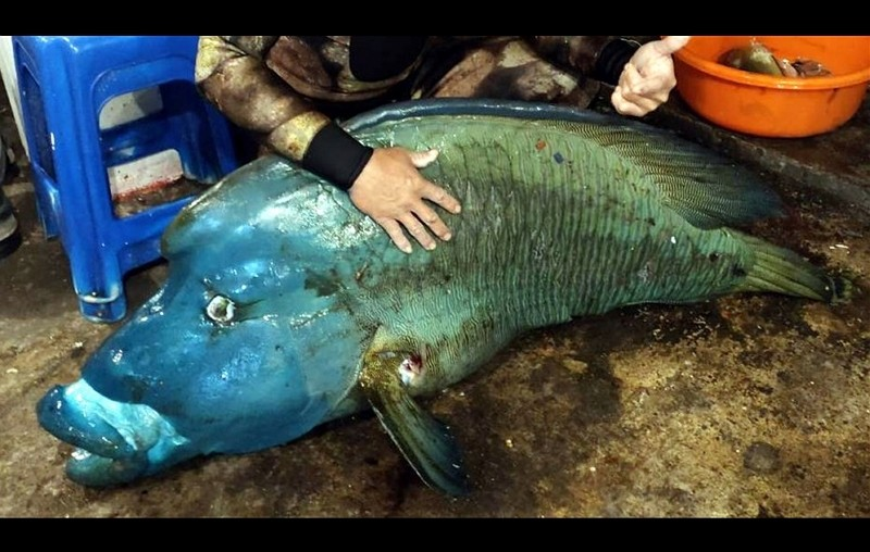 Orchid Islanders face charges for catching endangered humphead wrasse.