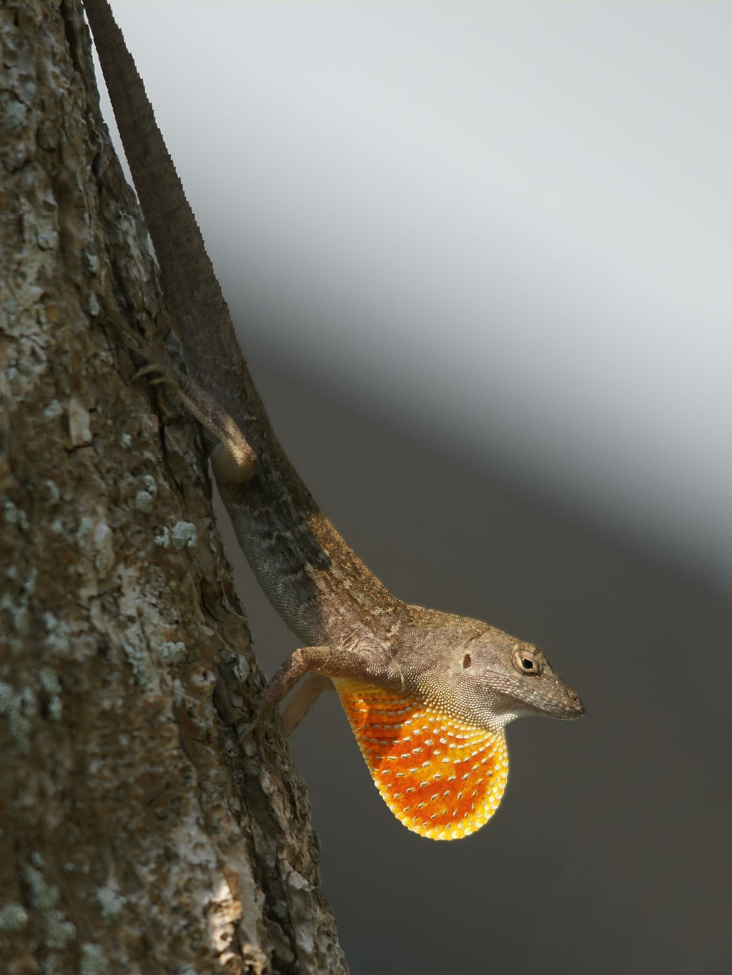 A brown anole displaying. (Wikipedia, Creative Commons photo)