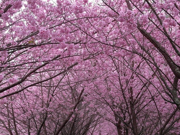 """Pink lady cherry blossoms at Wuling Farm (Flicker, <a href=""""https://www.flickr.com/photos/in_future/"""" target=""""_blank"""">Xiaocao</a> photo)"""