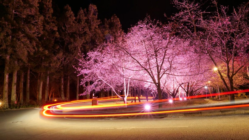 台中武陵農場櫻花海爆發 「賞櫻專車」至3月1日止 快來場愜意賞花之旅