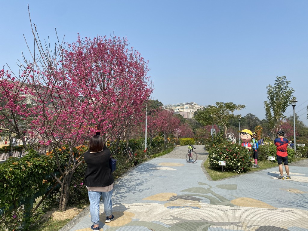 鶯歌永吉公園花開迎春 櫻花與炮仗花繽紛盛開相映襯