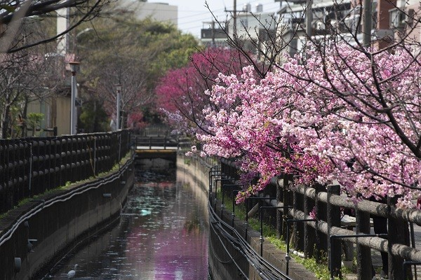 Cherry blossoms along Lane 239 of Dongnan Street in Hsinchu'sEast District (Hsinchu City Government photo)