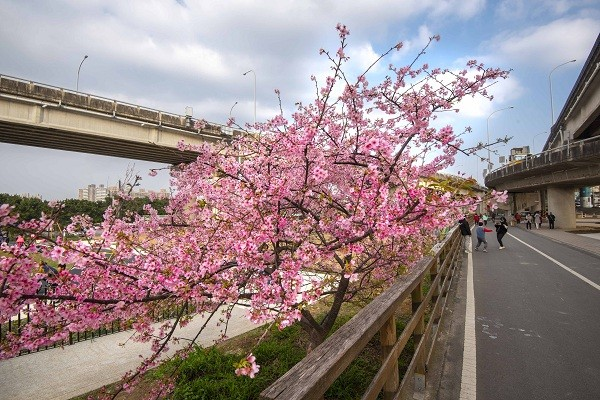 Mayor of Taiwan's Hsinchu recommends 3 cherry blossom destinations