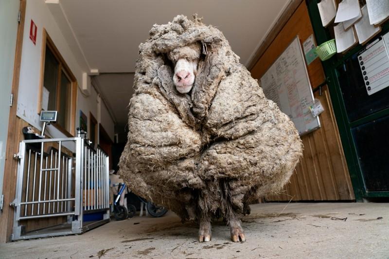 澳洲綿羊巴拉克(圖/路透)
