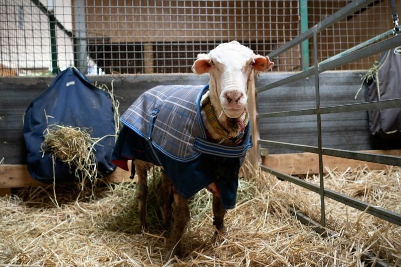 如釋重負 澳洲流浪綿羊扛35公斤羊毛險沒命
