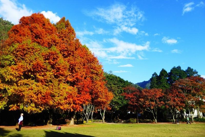 奧萬大國家森林遊樂區是林務局推動森林療癒示範場域,擁有全國最大天然楓香純林。(林務局提供)中央社