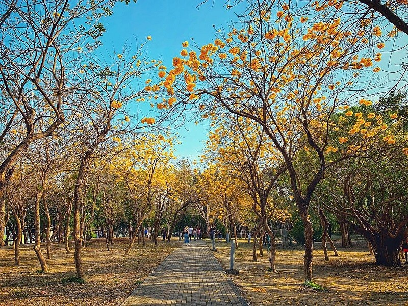 台南億載金城是知名的黃花風鈴木賞花景點之一,黃花風鈴木在花朵盛開時,通常沒有綠葉相襯,金黃色花海相當壯觀。(KLOOK提供)中央社