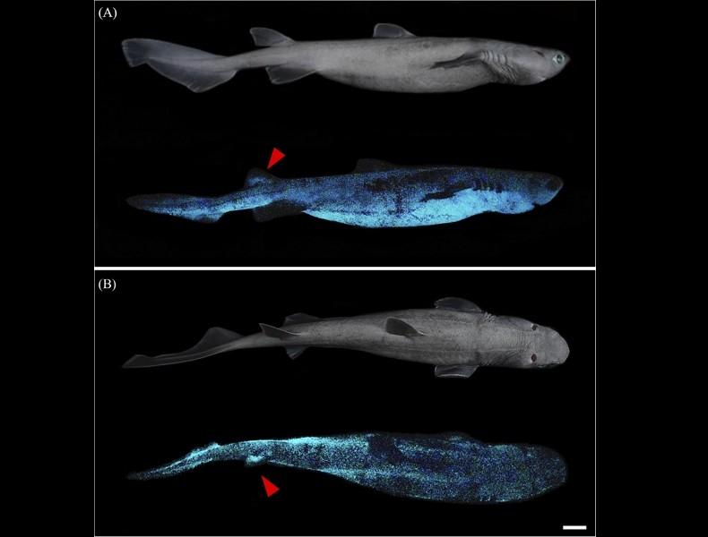 自體發光鯊魚(圖取自海洋科學前沿期刊)