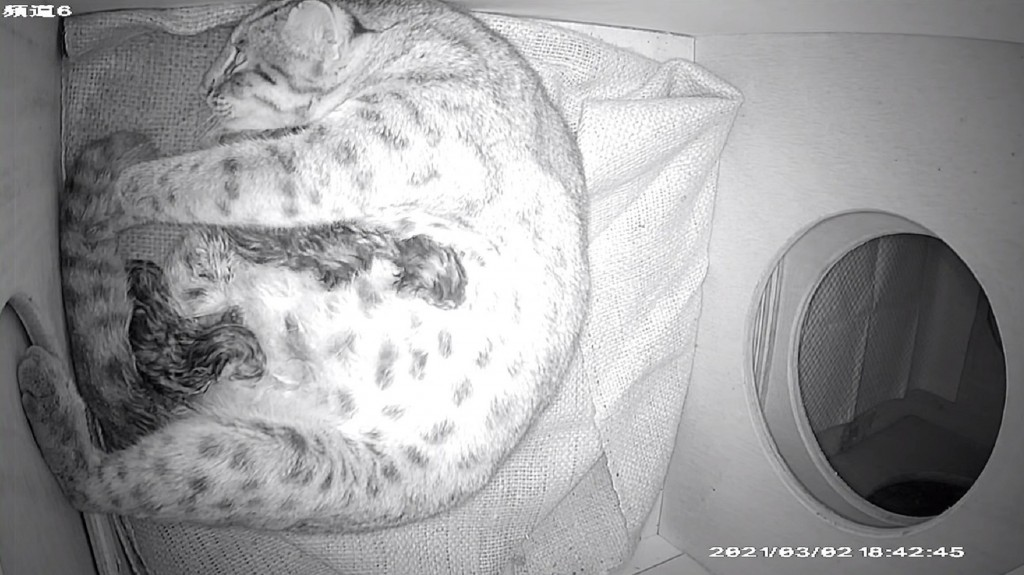 Ping Ping the leopard cat and her three kittens (CNA, Taipei Zoo photo)