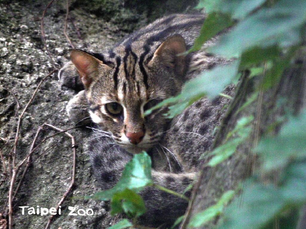 台北市立動物園在間隔了20多年後,於昨天傍晚終於再次迎接石虎寶寶的誕生。(圖/台北市立動物園提供)