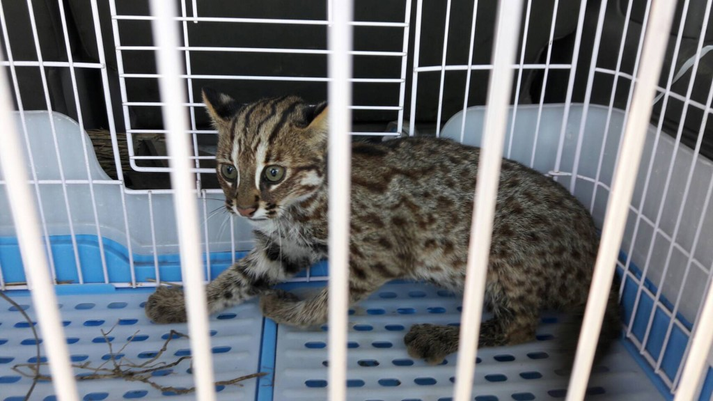 The leopard cat is one of Taiwan's most endangered animals, falling victim to traffic accidents and pesticides