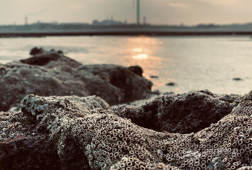 The Datan algal reef in Taoyuan (Rescue Datan's Algal Reefs Alliance photo)