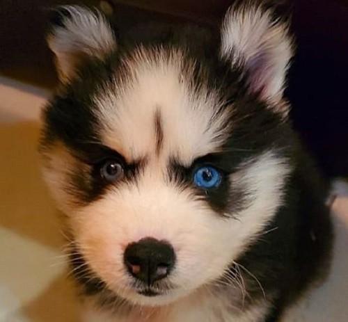 Sabre. (Dog owner photo)