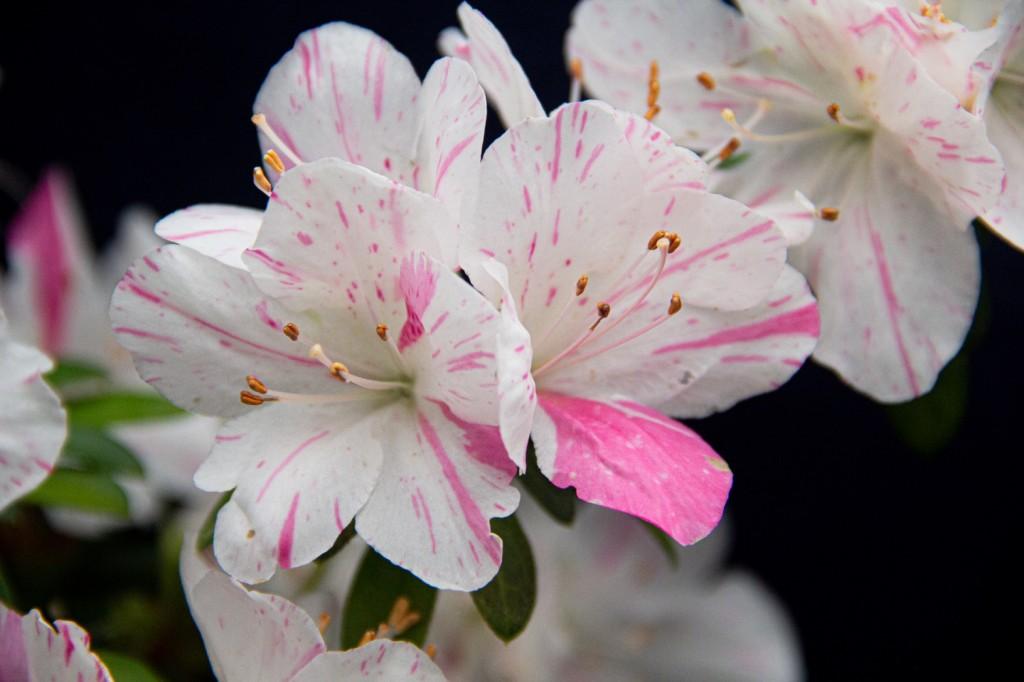 萬金杜鵑產業已有60年歷史,是台灣質、量最好的杜鵑花產地。(圖/新北市政府)