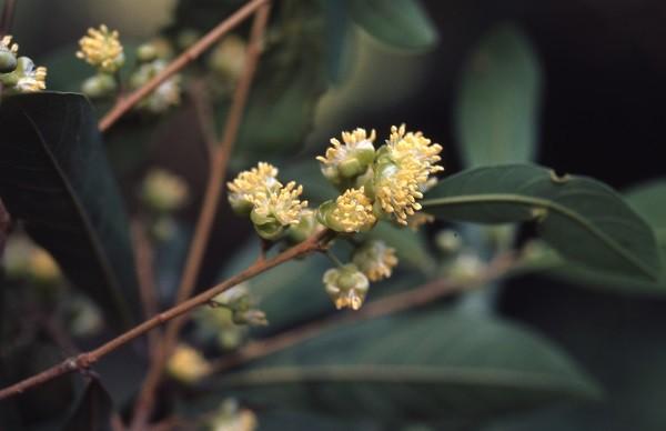 小梗木薑子。(照片來源:林業試驗所提供)