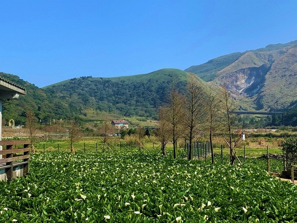 Calla lily season to begin this weekend at Taipei's Zhuzihu