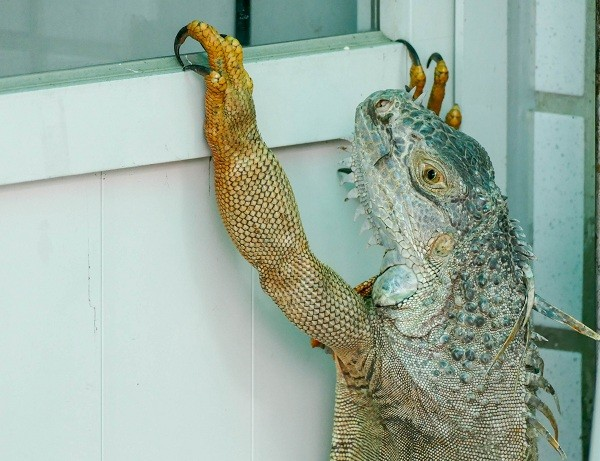 Green iguana found outside residence in southwest Taiwan