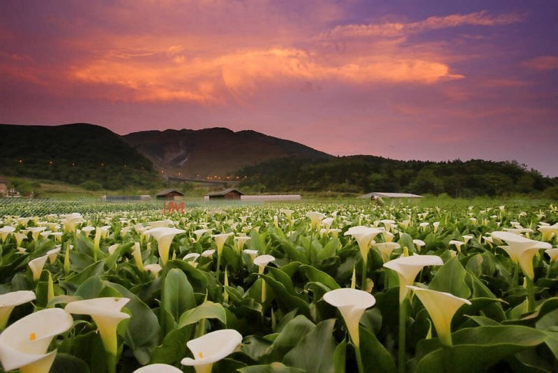 陽明山海芋(圖/台北旅遊網臉書)