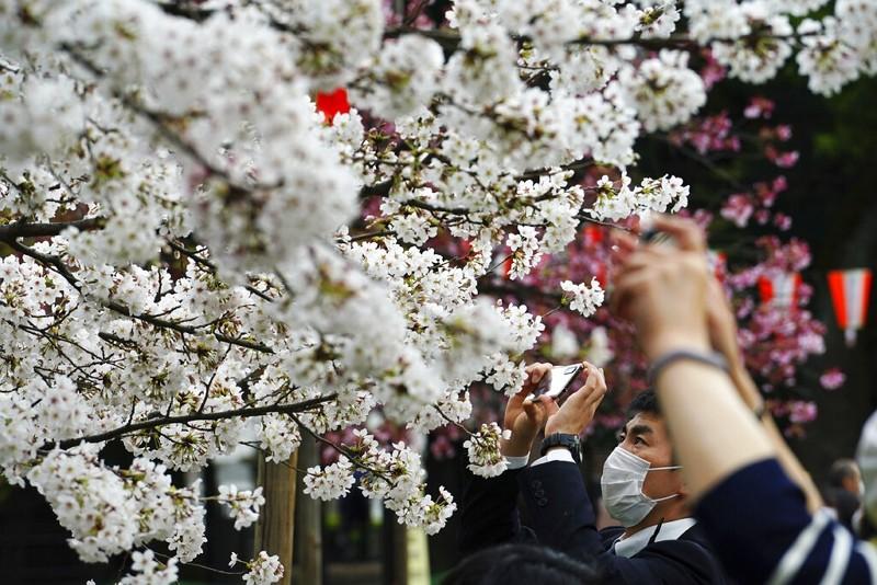 【一花一世界】日本櫻花提早盛開破千年紀錄 從花期看生態災難