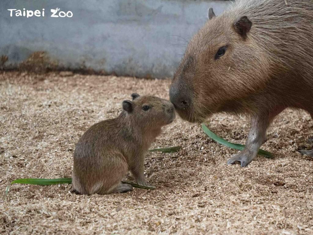 水豚媽媽「阿皮」雖然個性膽小加上容易緊張,但母性很好,把水豚寶寶照顧得無微不致。(台北市立動物園提供)