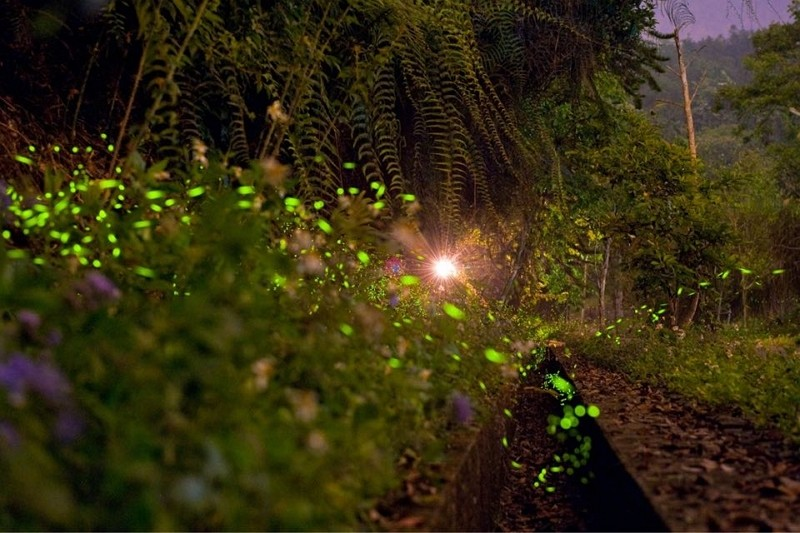 Fireflies at Sun Moon Lake (Sun Moon Lake National Scenic Area photo)