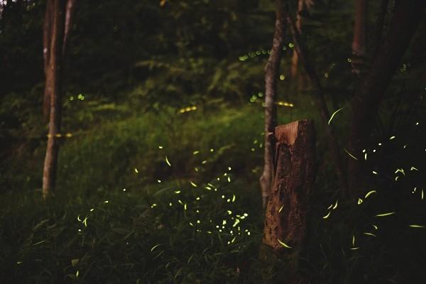 View fireflies on Taipei's Tiger Mountain