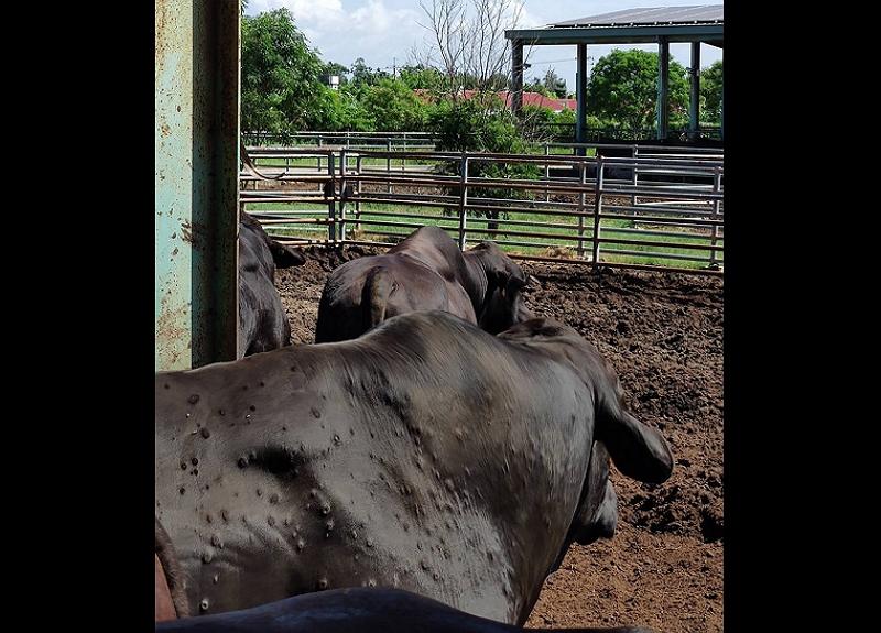 罹患牛結節疹的牛隻