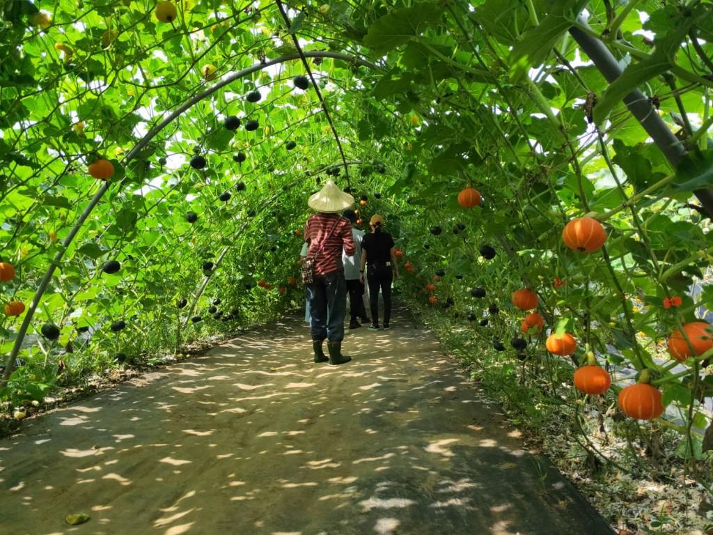 來淡水南瓜隧道拍美照、帶美味 淡水農會邀你一同支持南瓜產業