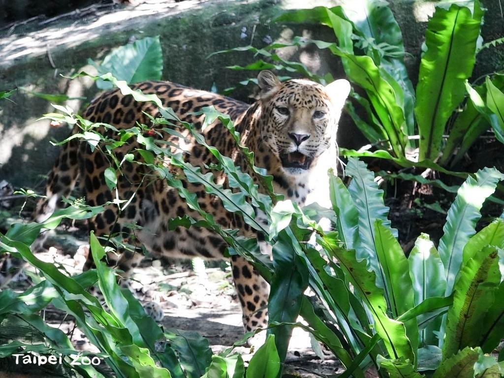 花豹。(圖片由Taipei Zoo提供)