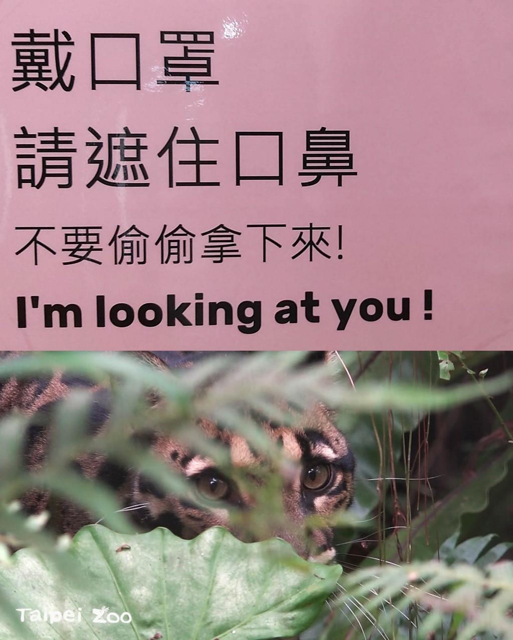 台灣持續防疫!台北市動物園:雲豹和大河馬難得悠閒