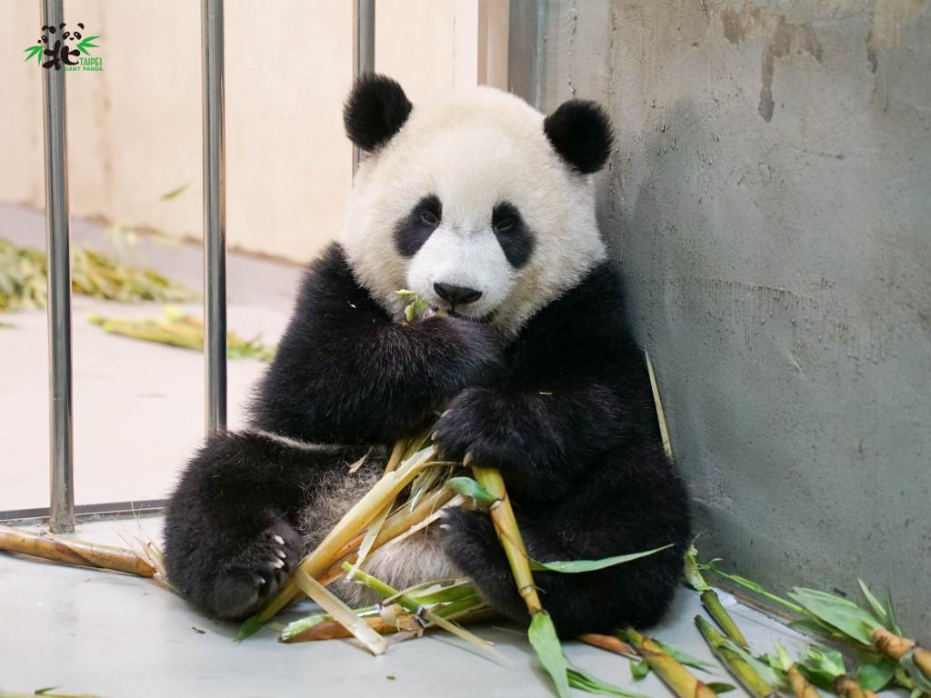 臺灣續防疫!台北動物園:大貓熊家族萌照報近況
