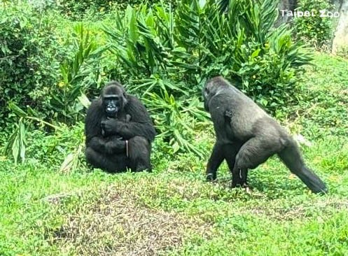 台北動物園傳喜訊!金剛猩猩Iriki升格當媽 「呷百二」晉級當哥哥